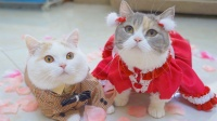 假如猫咪会走时装秀,这猫步走得太标准了!