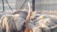饲养员把一整牛丢入狮子园,7头雄狮一拥而上