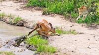 羚羊刚从鳄鱼嘴里逃生,怎料一头花豹又扑了过来,最后会怎样?