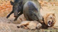 这是我见过最凶猛的疣猪,狮子被打的屁滚尿流,没有镜头记录谁信