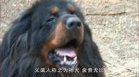 大秦帝国:义渠人供奉的神犬,长期被关在深宫,一代不如一代