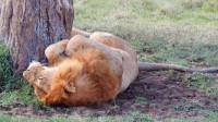 肚子还不饿的流浪雄狮,躺在树下休憩