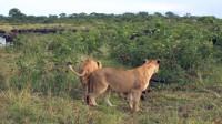 水牛群赶跑狮子解救同伴,但似乎一切都晚了
