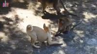 小猴子很大胆,想把狗摔倒,双方开始激烈较量