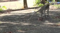 天杀的大猴子把小猴子虐待得体无完肤,手段极其残忍!