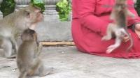 孤儿猴宝宝和小麦洛一起吃东西,它好像不喜欢后面来的大猴子!