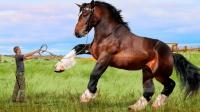 """世界上最大的马,身高2米,竟是个""""大力士"""""""