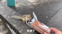 速度快如闪电的松鼠,遭遇一只松鸦袭击,跑得再快也没用