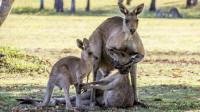 动物界中也存在家暴?袋鼠爸爸家暴袋鼠妈妈