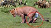 鬣狗捕杀小狮子,雄狮突然回家,鬣狗老窝被狮子血洗