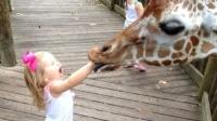 小女孩给长颈鹿喂食,不料意外发生,网友:家长太大意了