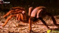 狼蛛注射的毒液,能够溶解肌肉组织,轻易杀死猎物