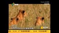 【广东新闻频道】 寰宇地理  超级狮群