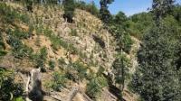 云南西双版纳回应大规模毁林种茶:去年的画面,正全力恢复