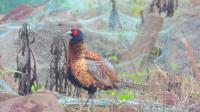 原生态漂亮的公野鸡梳理羽毛,听到竹鸡叫声,野鸡也大叫一声