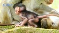 为了小猴子,猴妈之间也发生了冲突……