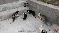 这是哪里来的耗子?一群猫都打不过他!
