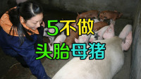 头胎母猪这5点不要做,这些细节真的很重要,养猪人值得收藏!