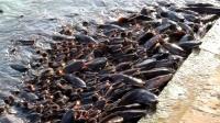 美国亚洲鲤鱼泛滥成灾,效仿中国查干湖冬捕