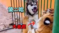 四川话搞笑配音:是谁说二哈只会吵架的