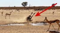 角马正在地上刨土,突然倒地抽搐,一旁的羚羊直接看懵!