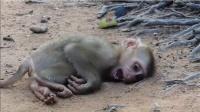 小猴子倒地不起,可怜的哀嚎着,这家伙到底怎么了?