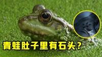 5个在动物体内发现的奇怪东西!青蛙的肚子里装满了石头?