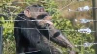 黑猩猩被打慌不择路,撞上电网浑身抽搐!