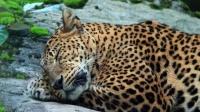 杭州出逃第二只豹子已经找到!现场视频曝光