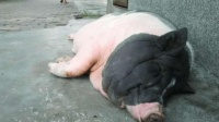 离谱!上海一女生养300斤香猪当宠物