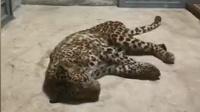 现场视频!杭州出逃第二只豹子已经找到!已麻醉并成功捕获