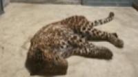 麻醉捕获的小豹子回到杭州野生动物世界 呼吸平稳