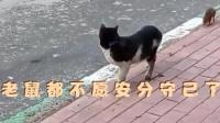 搞笑配音:奇怪奇怪太奇怪,老鼠和猫谈恋爱!