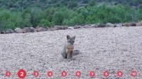 小狐狸来要饭,好人给了它四个馒头,它叼不下,可把它急坏了!