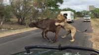 狮子捕杀野牛,谁料野牛不慎跌倒了,悲催了!