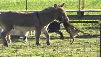毛驴叼着小羊羔,直接将其活活咬死,网友:太残忍了