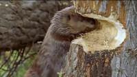 河狸为了修建大坝啃树,结果被砸死,实在是太冤了!