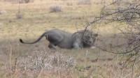 狮子在原地转圈,转了几圈后突然倒地抽搐,这到底是怎么了?