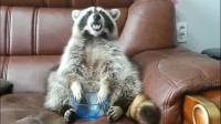 浣熊:我刚才那么大一碗葡萄呢?
