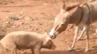 印象中的驴子只会拉磨,该颠覆你的认知了!