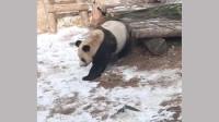 大熊猫搞笑瞬间合集,萌化了!