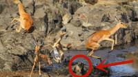 羚羊在河里悠闲的游着泳,鳄鱼结束了羚羊这一天的美梦