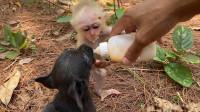 小猴子喝奶,不忘给自己的狗弟来几口,真是太和谐了