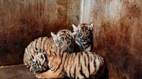 发现一群小猫咪,各个都是小老虎