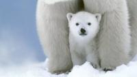 北极偶遇北极熊,还是一大家子