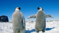 超可爱的小企鹅,冲过来要吃的