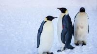 小企鹅排队走路,左右摇摆好可爱