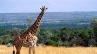 最接近自然的餐厅,长颈鹿直接吃客人餐食