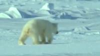 北极熊猎杀海豹全靠出其不意,带着熊孩子就难上加难了!