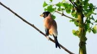 银杏树上的鸟叫声,好听的黑尾蜡嘴雀叫声
